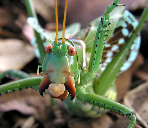 predatory relationship of katydids and mantids The insect predation game: evolving prey defenses and predators regulate some you will learn about predator-prey relationships and their impact on.