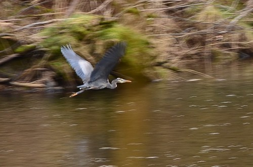 great blue heron on the oregon coast