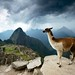 Llama above Machu Picchu. Peru by JC Richardson