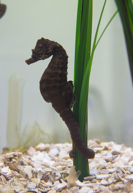short-snouted seahorse Hippocampus hippocampus