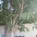 Garden Inventory: Ficus benjamina - 9