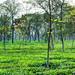 Darjeeling Tea Garden, India by Banerjee Santanu