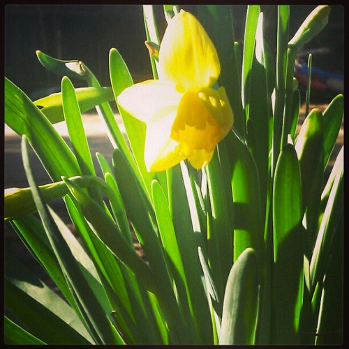 Signs: Jonquils