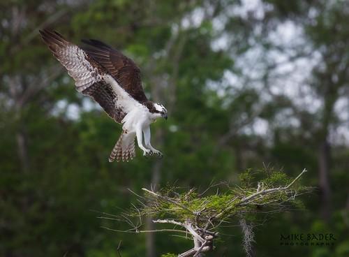 birds florida raptor osprey avian birdsofprey floridawildlife floridabirds bluecypresslake