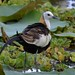 Pheasant-tailed Jacana Explored by sulakna