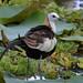 Pheasant-tailed Jacana Explored by Sulakna