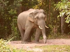 泰國考雅國家公園的大象(攝影:mattoftheday)