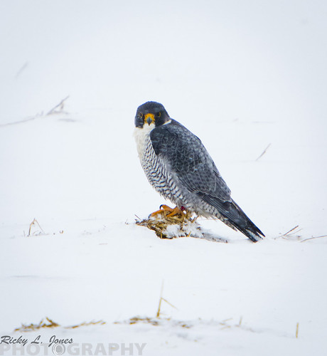 Peregrine Falcon 2 by Ricky L. Jones Photography