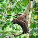 Primate Lagothrix lagotricha_05_