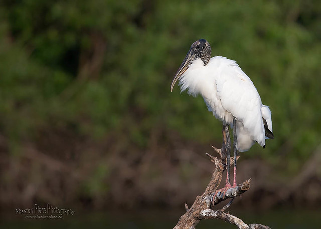 Wood Stork Perched