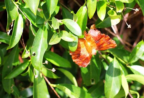 Butterfly Flower seedpod