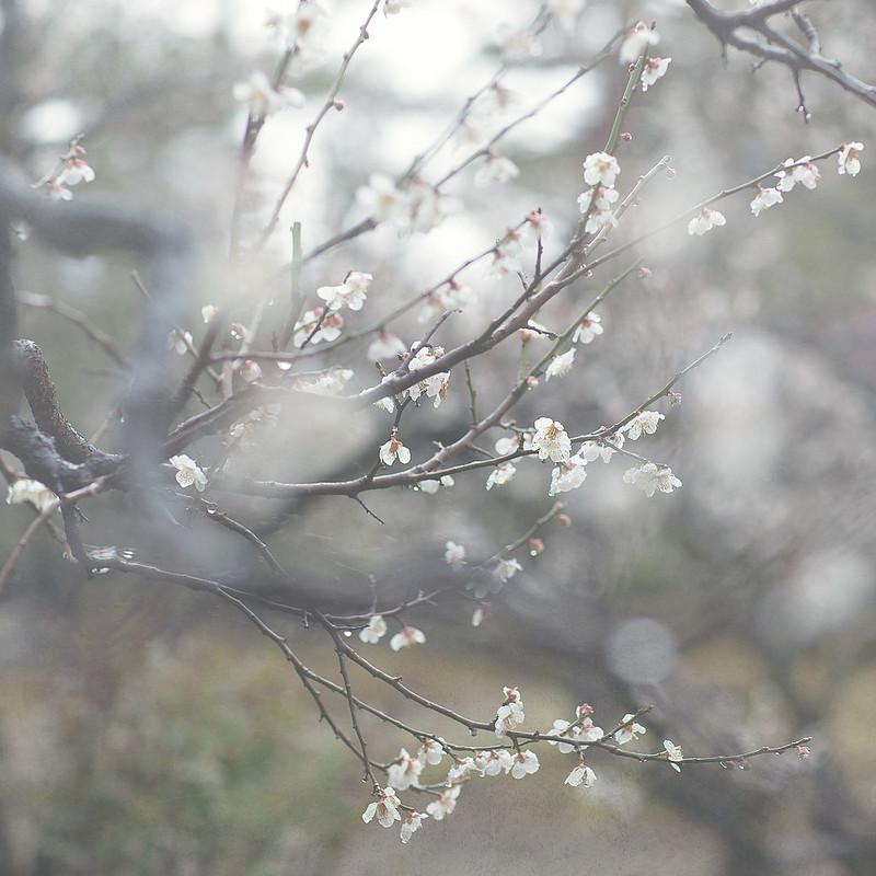 Japanese plum3