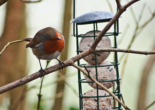 Robin 4 by birbee