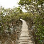 Path Through the Mangrove Forest - Haruru Falls Trail, New Zealand