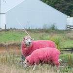 Pink Sheep - North Island, New Zealand