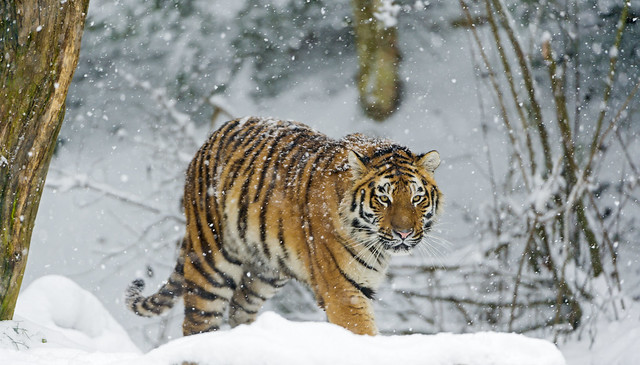 Tiger walking in the snow