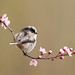 Long Tailed Tit on Blossom by nichollwilliams