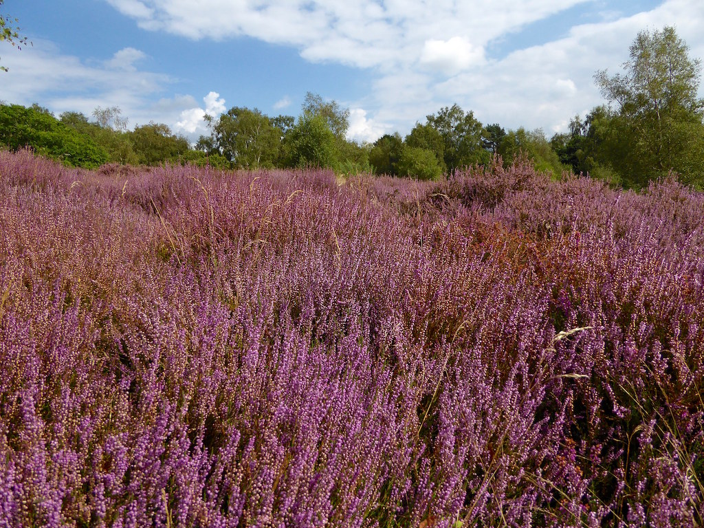 Heather, Albury Heath, Surrey Guildford Circular via Albury Park walk