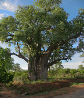 Изображение Big Tree. zimbabwe victoriafalls birddrive