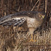 Northern harrier, male by Through The Big Lens