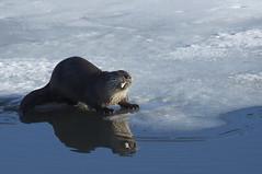 animal, arctic ocean, seals, marine mammal, arctic, sea otter,