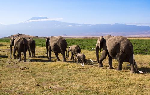 在非洲最高峰之下的象群。圖片來源:MarcProudfoot