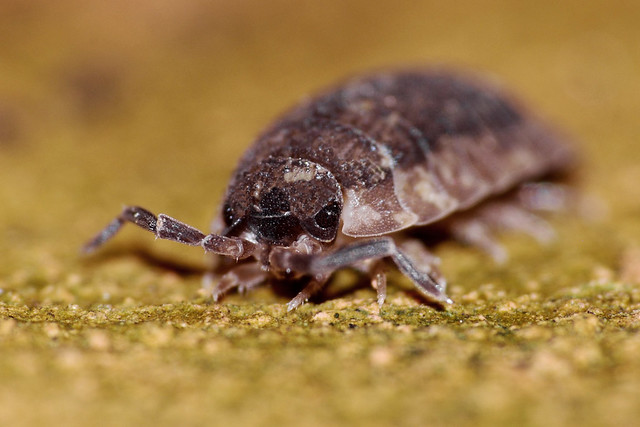 Woodlouse 20120126