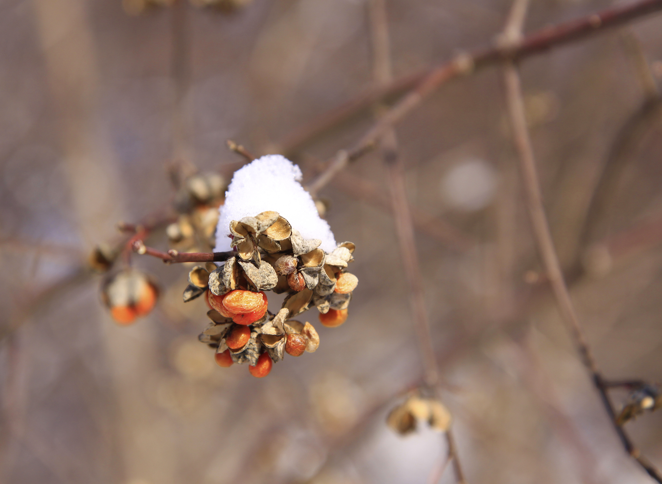 snowy spindle berries