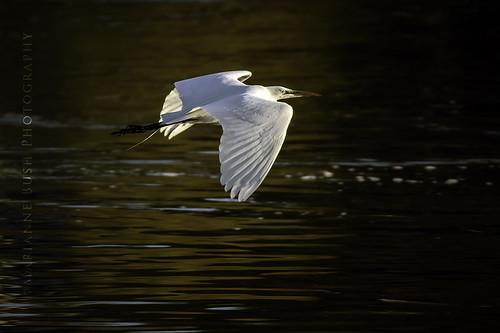 oregon sunrise egret greategret ardeaalba klamathfalls