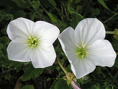 ipomoea violacea(0.0), pinkladies(0.0), ipomoea alba(0.0), annual plant(1.0), flower(1.0), large-flowered evening primrose (1.0), plant(1.0), wildflower(1.0), pink evening primrose(1.0), flora(1.0), green(1.0), petal(1.0),