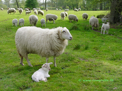 Sheep with lamb, Spring is in the air, Nijverdal, Netherlands - 5269