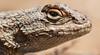 Western fence lizard, Lincoln, Oregon by Steven David Johnson