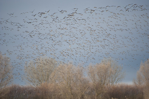Speckle Bellies and Pintails