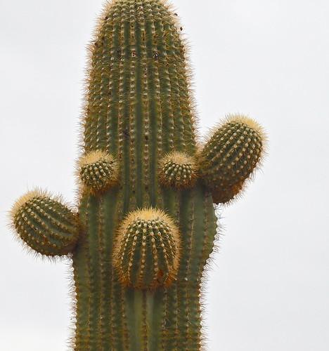 Saguaro face