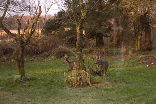 Roe Deer 2