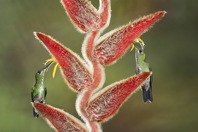 Female Green-crowned Brilliant Hummingbirds on Heliconia