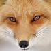 Renard Roux Red Fox 17-02-13 by r.gelly