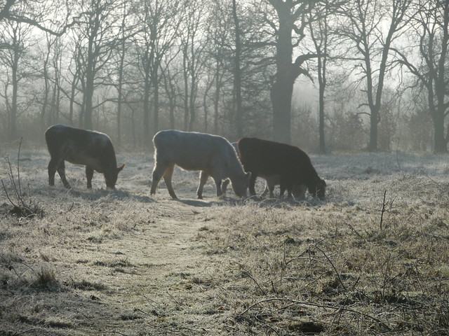 Frost and Cattle