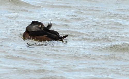 Ring-necked Duck (female)