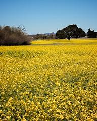 Wild Mustard Field 1 of 12