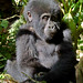 Infant Gorilla, Bwindi (Ian and Kate Bruce)