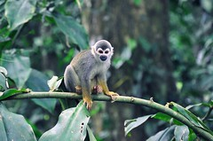 animal, rainforest, branch, monkey, nature, mammal, squirrel monkey, fauna, forest, spider monkey, old world monkey, new world monkey, jungle, wildlife,
