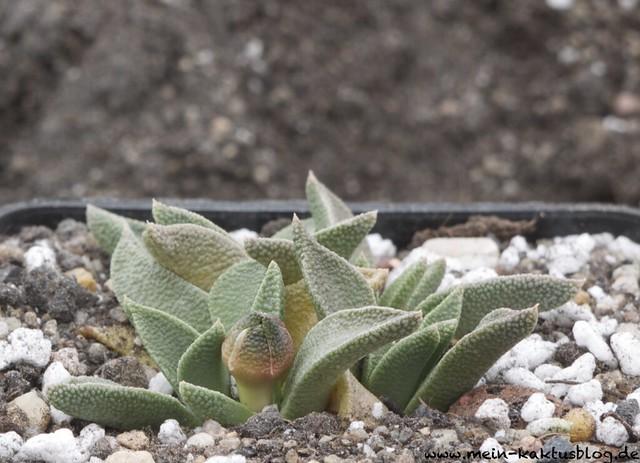 Nananthus willmanniae