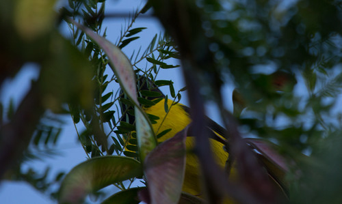Audubon's Oriol