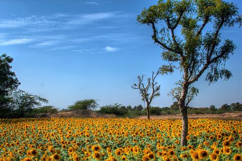 [フリー画像素材] 自然風景, 花・植物, 向日葵・ヒマワリ, 樹木, 花畑 ID:201303101200