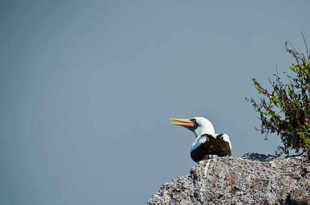 Galapagos Birds: Nazca Booby