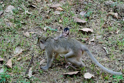 monkey in Angkor Thomb