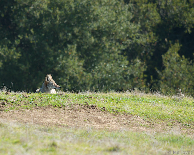 coyote rest