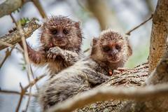 [フリー画像素材] 動物 (哺乳類), 猿・サル, マーモセット ID:201303151000