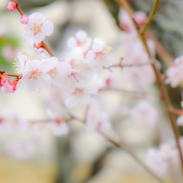 Plum Flowers *